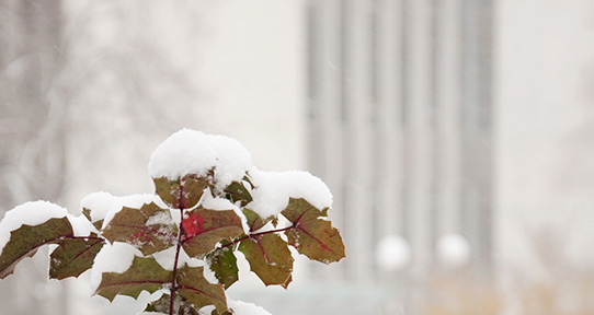 Snow on a shrub in front of Mearns-McPherson Library